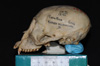 http://mczbase.mcz.harvard.edu/specimen_images/mammalogy/large/5351_Ateles_geoffroyi_geoffroyi_hl.jpg