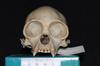 http://mczbase.mcz.harvard.edu/specimen_images/mammalogy/large/5352_Ateles_geoffroyi_geoffroyi_hf.jpg