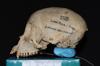 http://mczbase.mcz.harvard.edu/specimen_images/mammalogy/large/5352_Ateles_geoffroyi_geoffroyi_hl.jpg
