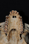 http://mczbase.mcz.harvard.edu/specimen_images/mammalogy/large/5352_Ateles_geoffroyi_geoffroyi_hv2.jpg