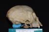 http://mczbase.mcz.harvard.edu/specimen_images/mammalogy/large/5353_Ateles_geoffroyi_geoffroyi_hl2.jpg
