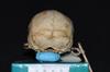 http://mczbase.mcz.harvard.edu/specimen_images/mammalogy/large/5353_Ateles_geoffroyi_geoffroyi_hp.jpg