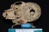 http://mczbase.mcz.harvard.edu/specimen_images/mammalogy/large/5353_Ateles_geoffroyi_geoffroyi_hv.jpg