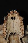 http://mczbase.mcz.harvard.edu/specimen_images/mammalogy/large/5355_Ateles_geoffroyi_geoffroyi_hv2.jpg