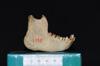 http://mczbase.mcz.harvard.edu/specimen_images/mammalogy/large/5355_Ateles_geoffroyi_geoffroyi_jl.jpg