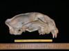 http://mczbase.mcz.harvard.edu/specimen_images/mammalogy/large/54000_Felis_concolor_cougar_hl.jpg