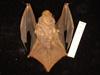 http://mczbase.mcz.harvard.edu/specimen_images/mammalogy/large/55606_Lasiurus_borealis_borealis_d.jpg
