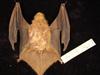 http://mczbase.mcz.harvard.edu/specimen_images/mammalogy/large/55608_Lasiurus_borealis_borealis_d.jpg