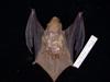 http://mczbase.mcz.harvard.edu/specimen_images/mammalogy/large/55613_Lasiurus_borealis_borealis_d.jpg
