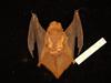 http://mczbase.mcz.harvard.edu/specimen_images/mammalogy/large/55615_Lasiurus_borealis_borealis_d.jpg