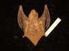 http://mczbase.mcz.harvard.edu/specimen_images/mammalogy/large/55616_Lasiurus_borealis_borealis_d.jpg