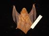 http://mczbase.mcz.harvard.edu/specimen_images/mammalogy/large/55617_Lasiurus_borealis_borealis_d.jpg