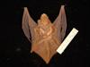 http://mczbase.mcz.harvard.edu/specimen_images/mammalogy/large/55618_Lasiurus_borealis_borealis_d.jpg