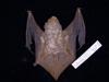 http://mczbase.mcz.harvard.edu/specimen_images/mammalogy/large/55619_Lasiurus_borealis_borealis_d.jpg