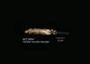 http://mczbase.mcz.harvard.edu/specimen_images/mammalogy/large/56800_Genetta_maculata_maculata_v.jpg