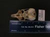 http://mczbase.mcz.harvard.edu/specimen_images/mammalogy/large/56844_Ochotona_hyperborea_yesoensis_hv.jpg