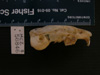 http://mczbase.mcz.harvard.edu/specimen_images/mammalogy/large/56846_Ochotona_hyperborea_yesoensis_hl.jpg