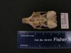 http://mczbase.mcz.harvard.edu/specimen_images/mammalogy/large/56846_Ochotona_hyperborea_yesoensis_hv.jpg