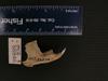 http://mczbase.mcz.harvard.edu/specimen_images/mammalogy/large/56846_Ochotona_hyperborea_yesoensis_ml.jpg