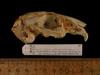http://mczbase.mcz.harvard.edu/specimen_images/mammalogy/large/56905_Bungolagus_monticularis_hl.jpg