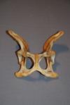 http://mczbase.mcz.harvard.edu/specimen_images/mammalogy/large/57136_Hyaena_brunnea_pelvis_d.jpg