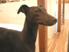 http://mczbase.mcz.harvard.edu/specimen_images/mammalogy/large/58012_Canis_familiaris_hl2.jpg