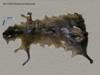 http://mczbase.mcz.harvard.edu/specimen_images/mammalogy/large/58244_Dasyprocta_kalinowskii_d.jpg