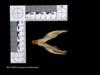http://mczbase.mcz.harvard.edu/specimen_images/mammalogy/large/58244_Dasyprocta_kalinowskii_mv.jpg