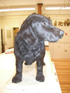 http://mczbase.mcz.harvard.edu/specimen_images/mammalogy/large/58659_Canis_familiaris_hf.jpg