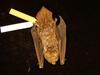 http://mczbase.mcz.harvard.edu/specimen_images/mammalogy/large/59083_Lasiurus_cinereus_d.jpg