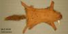 http://mczbase.mcz.harvard.edu/specimen_images/mammalogy/large/59290_Canis_aureus_v.jpg