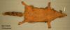 http://mczbase.mcz.harvard.edu/specimen_images/mammalogy/large/59291_Canis_aureus_v.jpg