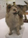 http://mczbase.mcz.harvard.edu/specimen_images/mammalogy/large/59309_Canis_familiaris_hf.jpg