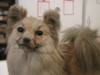 http://mczbase.mcz.harvard.edu/specimen_images/mammalogy/large/59309_Canis_familiaris_hf2.jpg