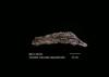 http://mczbase.mcz.harvard.edu/specimen_images/mammalogy/large/59335_Genetta_maculata_aequatoralis_d.jpg