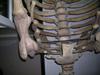 http://mczbase.mcz.harvard.edu/specimen_images/mammalogy/large/59412_hydrodamalis_gigas_lt-limb.jpg