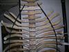 http://mczbase.mcz.harvard.edu/specimen_images/mammalogy/large/59412_hydrodamalis_gigas_thorac-v2.jpg