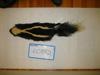 http://mczbase.mcz.harvard.edu/specimen_images/mammalogy/large/60882_Mephitis_mephitis_nigra_d.jpg