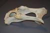 http://mczbase.mcz.harvard.edu/specimen_images/mammalogy/large/61129_Cervus_elaphus_nelsoni_pelvis_l.jpg