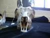 http://mczbase.mcz.harvard.edu/specimen_images/mammalogy/large/61368_Capra_ibea_nubiana_hf.jpg