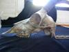 http://mczbase.mcz.harvard.edu/specimen_images/mammalogy/large/61368_Capra_ibea_nubiana_hl.jpg