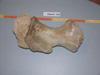 http://mczbase.mcz.harvard.edu/specimen_images/mammalogy/large/61406_Physter_catodon_hume_d.jpg