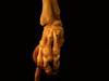 http://mczbase.mcz.harvard.edu/specimen_images/mammalogy/large/61416_Castor_canadensis_acadicus_foot2_d.jpg