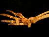 http://mczbase.mcz.harvard.edu/specimen_images/mammalogy/large/61416_Castor_canadensis_acadicus_foot3_v.jpg