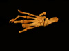 http://mczbase.mcz.harvard.edu/specimen_images/mammalogy/large/61416_Castor_canadensis_acadicus_foot_d.jpg