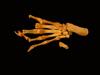 http://mczbase.mcz.harvard.edu/specimen_images/mammalogy/large/61416_Castor_canadensis_acadicus_foot_v.jpg