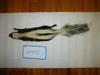 http://mczbase.mcz.harvard.edu/specimen_images/mammalogy/large/61440_Mephitis_mephitis_estor_d.jpg