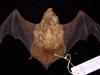 http://mczbase.mcz.harvard.edu/specimen_images/mammalogy/large/61550_Lasiurus_borealis_teliotis_d.jpg