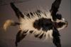 http://mczbase.mcz.harvard.edu/specimen_images/mammalogy/large/61633_Colobus_guereza_caudatus_d.jpg