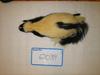 http://mczbase.mcz.harvard.edu/specimen_images/mammalogy/large/62039_Mephitis_mephitis_nigra_d.jpg